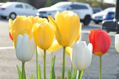 Tulip blooms in the spring royalty free stock images