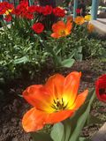 Tulip blooms. Stamen inside orange and red tulips in flower bed Royalty Free Stock Image