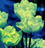 Tulip blooms with their delicate petals. Luminous green color added creates a glowing effect stock photo
