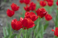 Tulip blossom in baltimore sherwood gardens. Maryland usa stock photography