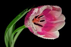Tulip, Blossom, Bloom, Macro Royalty Free Stock Image