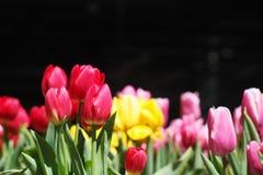 Tulip. Blossom bloom in the winter season royalty free stock photo