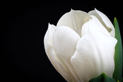 Tulip Blossom with copy space Royalty Free Stock Photos