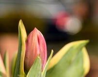 Tulip Blossom rose avec le vert part dans la haute résolution - macro avec Bokeh Photographie stock libre de droits