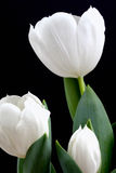 Tulip Blossoms Royalty Free Stock Photo