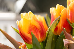 Tulip Blossoms anaranjada con verde se va en la alta resolución - macro Imágenes de archivo libres de regalías