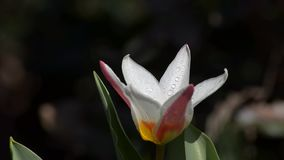 Tulip blossoms and insects fly stock footage