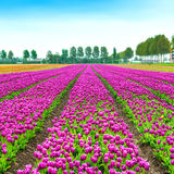 Tulip blosssom flowers cultivation field in spring. Holland or N Stock Photo