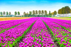 Tulip blosssom flowers cultivation field in spring. Holland or N Stock Photography