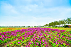 Tulip blosssom flowers cultivation field in spring. Holland or Netherlands. Stock Photo