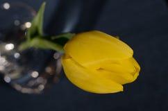 Tulip Blue Background amarilla 1 Imagenes de archivo