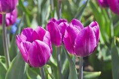 Tulip Blue Beauty Tulipa, Liliaceae au printemps Image libre de droits