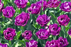 Tulip Blue Diamond Tulipa, Liliaceae au printemps Image libre de droits