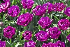 Tulip Blue Diamond Tulipa, Liliaceae au printemps Photographie stock libre de droits