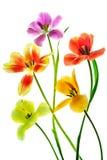 Tulip Bocquet Fotografia de Stock Royalty Free