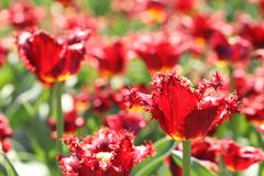 Photo of beautiful spring flower. stulip. Photo of beautiful spring flower. tulip with bokeh royalty free stock images
