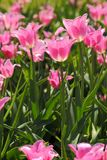 Photo of beautiful spring flower. tulip. With bokeh stock photo