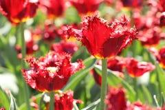 Photo of beautiful spring flower. tulip. With bokeh stock photos