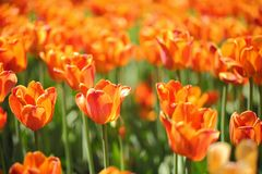 Photo of beautiful spring flower. tulip. With bokeh stock image