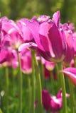 Photo of beautiful spring flower. tulip stock photo