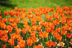 Photo of beautiful spring flower. tulip. With bokeh stock photography