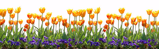 Tulip Border Stock Photos