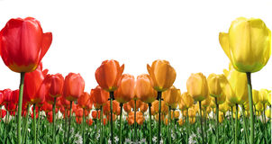 Tulip Border Royalty Free Stock Image