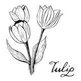 Tulip Botany Illustration Arkivbilder