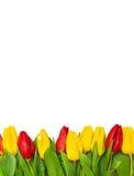 Tulip bottom border Stock Photo