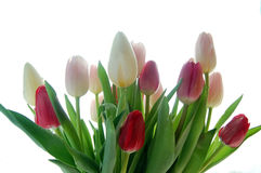 Tulip bouquet. Pink and white tulips on white background Royalty Free Stock Photos