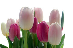 Tulip bouquet. Pink and white tulips on white background Stock Photos