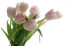 Tulip bouquet. Pink and white tulips on white background Royalty Free Stock Photography