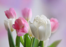 Tulip bouquet. Beautiful white and pink tulip bouquet Stock Images