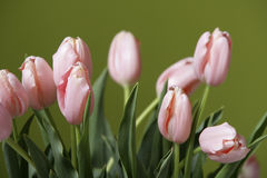Tulip bouquet. In front of a green background Stock Photography