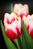 Tulip bouquet Royalty Free Stock Photography