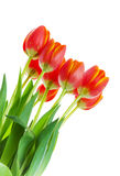 Red and Yellow Tulips on White Stock Images