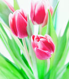 Tulip bouquet Royalty Free Stock Image