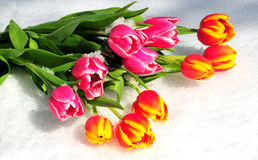 Tulip bouquet spring Easter snow Stock Images