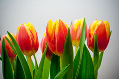 Tulip bouquet. With white background Stock Photo