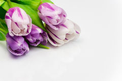 Tulip bouquet on white surface. Five tulip burgeons on white surface Stock Images