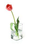 Tulip in a bowl. Red tulip in glass bowl. Isolated Royalty Free Stock Images