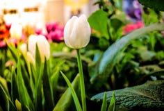 Tulip branco imagens de stock