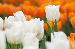 Tulip branco Imagens de Stock Royalty Free