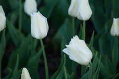 Tulip branco Foto de Stock