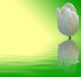 Tulip branco no fundo verde e amarelo Imagens de Stock Royalty Free
