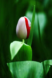 Tulip in bud Royalty Free Stock Images