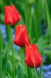 Tulip bud Royalty Free Stock Photo