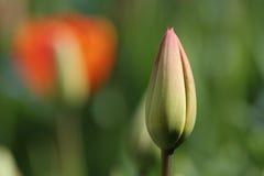 Free Tulip Bud Stock Photos - 725173