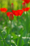 A tulip bud in the blurry background bokeh of blooming red tulip Royalty Free Stock Photography