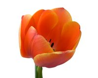 Tulip bud close-up Stock Image